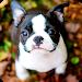 Download Boston Terrier Wallpaper 1.1 APK