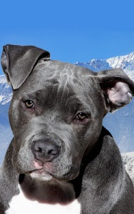 Download Pitbull Dog Live Wallpaper 60 APK